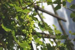 الاعتناء بشجرة العنب في حديقة المنزل